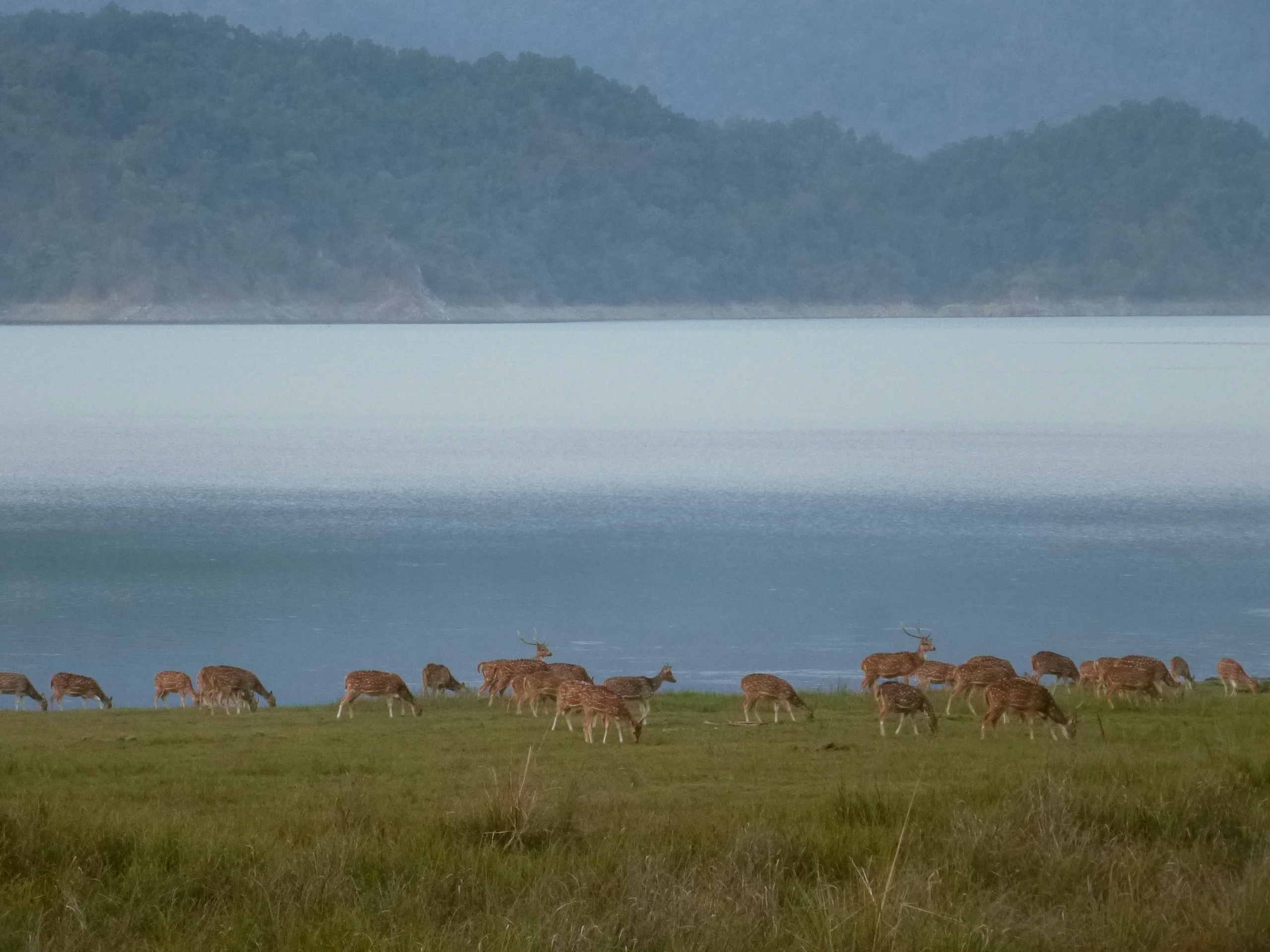 a herd of chital feed in a grasslanda at Corbett National Park (Image: Author)