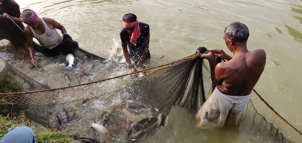 Fish rearing in a farm pond (Image: Ashutosh Nanda)