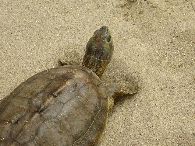 One of the four species of turtles to be found along the Ganga