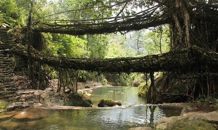 A living root bridge, a type of simple suspension bridge formed of living plant roots by tree shaping in village Nongriat, Meghalaya (Image: Wikimedia Commons)