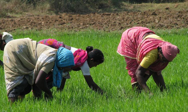 The government could consider a shift from the price support system to an income support system. PM-KISAN is a step in that direction, but the assistance under that is lacking. (Image: Wikimedia Commons)