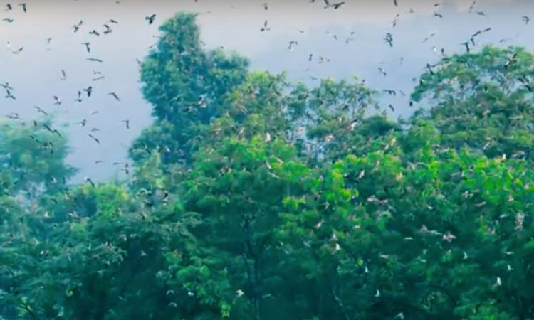Amur Falcons (Screenshot of the film The Naga Pride, Source: Sumanth Kuduvalli)