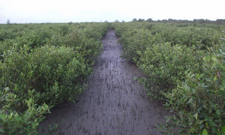 Mangroves of Sundarbans. (Source: Nature Environment & Wildlife Society - NEWS)