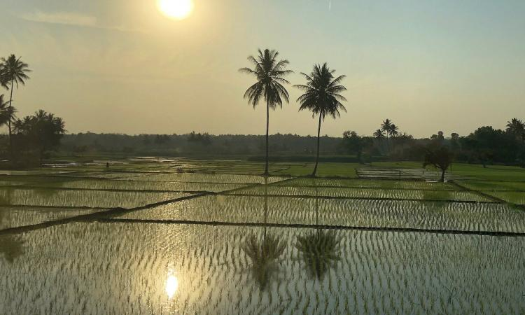 Rice field in Karnataka (Image: Guldem Ustun, Flickr Commons, CC BY 2.0)