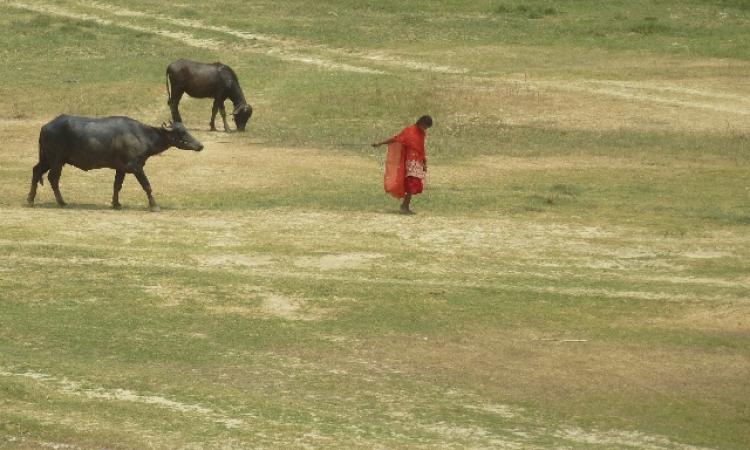 A young girl leads her buffaloes in search of water