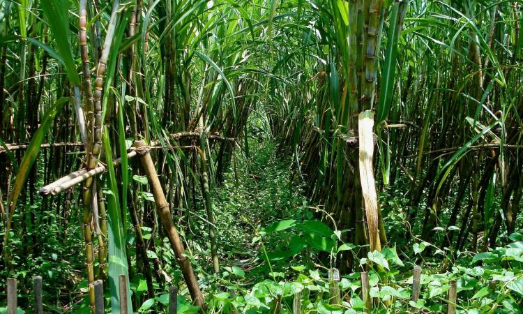 Cropping pattern in Maharashtra over the past 40 years has shifted towards water-intensive crops like sugarcane (Image: Terry Sunderland/CIFOR)