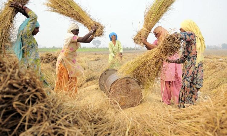 Farmers thresh paddy during harvest at Sangrur, Punjab. (Source: Neil Palmer, CIAT, 2011, Wikimedia Commons)