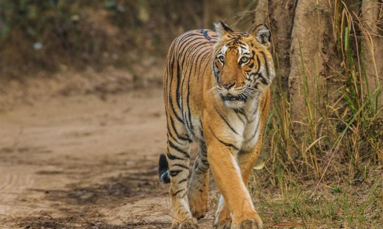 Tiger in Corbett national park. (Source: Soumyajit Nandy, Flickr Commons)